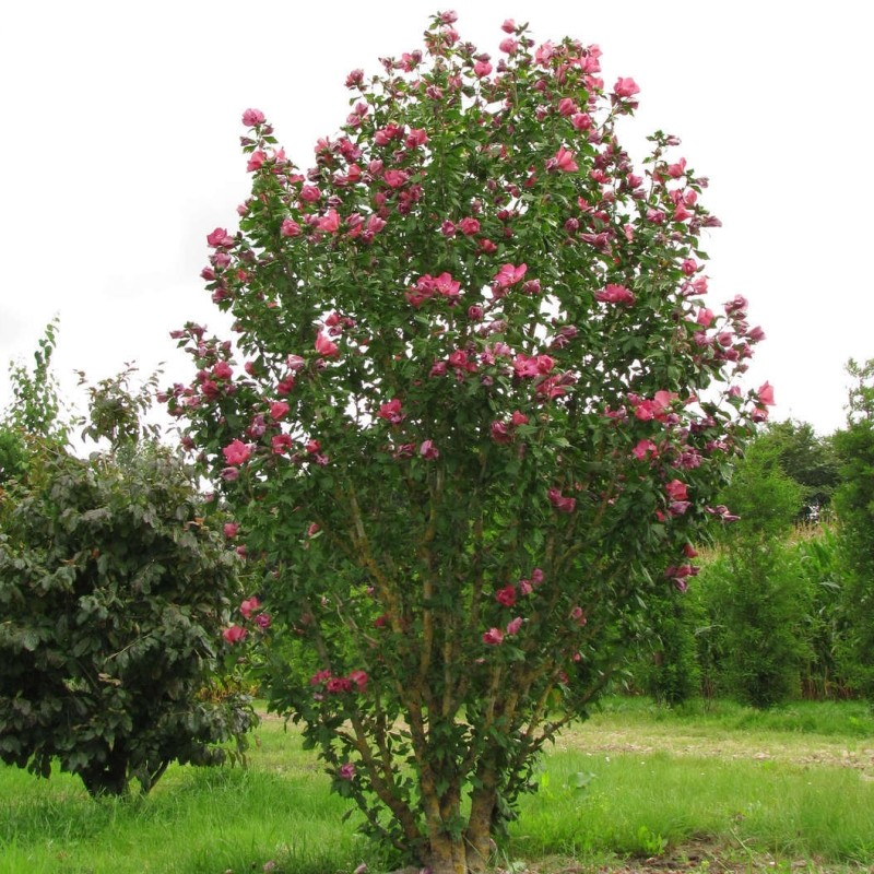 hibiscus syriacus duc de brabant. Black Bedroom Furniture Sets. Home Design Ideas