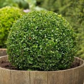 Arbori ornamentali arbusti decorativi si garduri vii 4 for Arbusti ornamentali