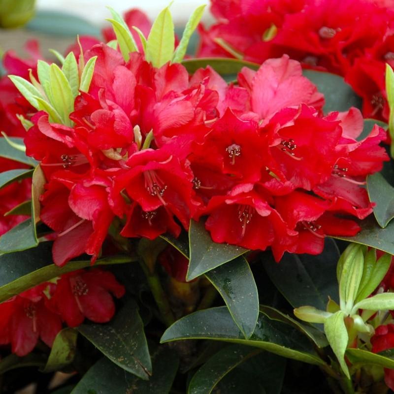 rhododendron red jack. Black Bedroom Furniture Sets. Home Design Ideas
