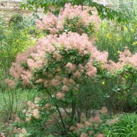 Arbusti ornamentali ce infloresc primavara si vara for Arbusti ornamentali