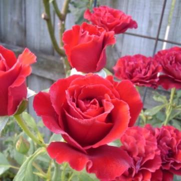 Rosa Don Juan