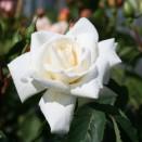 Trandafir urcator Ilse Kron Superior