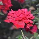 Trandafir Ingrid Bergman