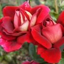 Trandafir Kronenbourg