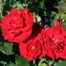 Trandafir Nina Weinbull
