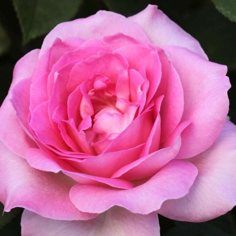 Trandafir Passion