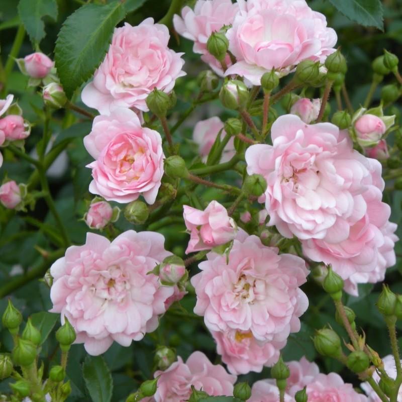 Trandafir pitic The Fairy