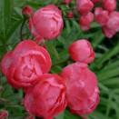 Trandafir Dick Koster