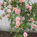 Trandafir urcator Alchymist