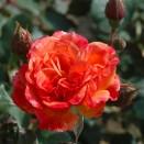 Trandafir Alison