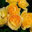 Trandafir Ausmas