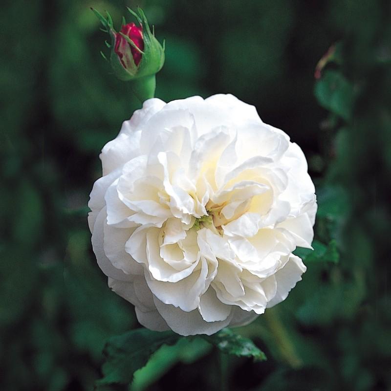Trandafir Boule de Neige