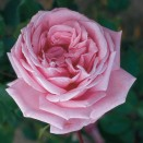 Trandafir urcator Coral Dawn