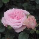 Trandafir Diadal
