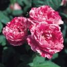 Trandafir Ferdinand Pichard