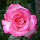Trandafir urcator Harlekin