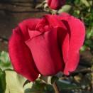 Trandafir Meicesar