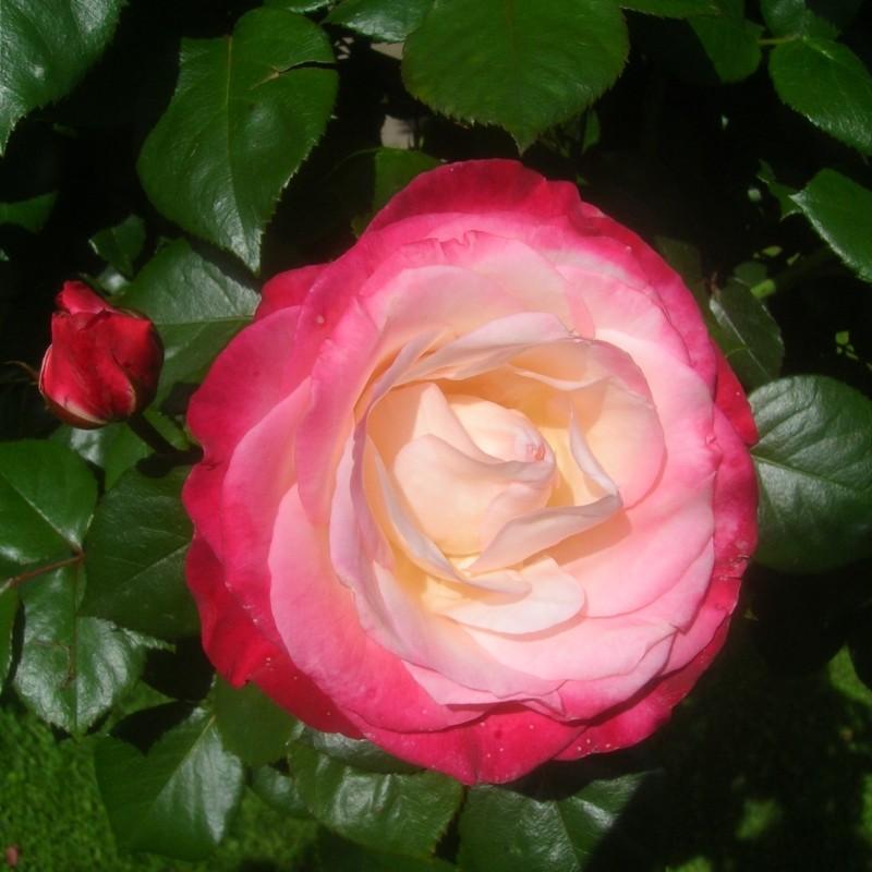 Trandafir Nostalgie