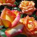 Trandafir Peace