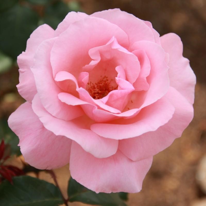 Trandafir Queen Elizabeth