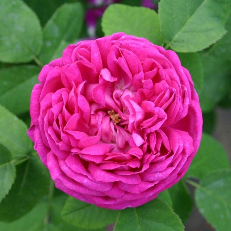 Trandafir Rose de Resht