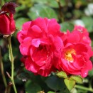 Trandafir pitic Rosa Rote Fairy