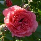 Trandafir urcator Seminole Wind