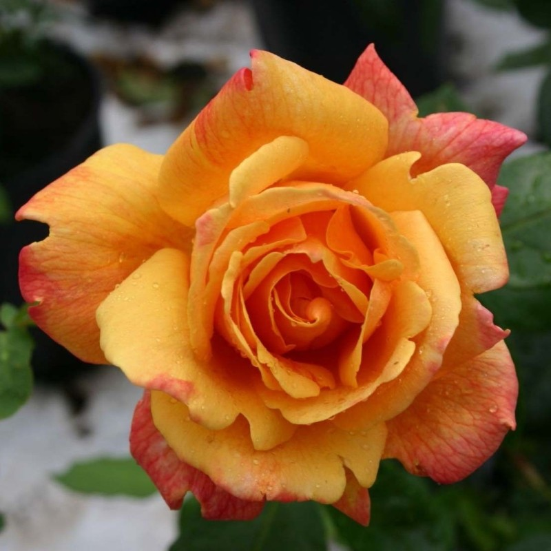 Trandafir urcator Sutters Gold