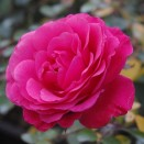 Trandafir Tom Tom