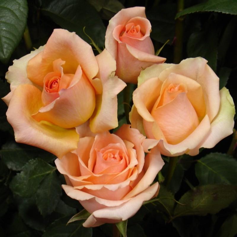 Trandafir Versilia