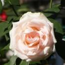 Trandafir Vivaldi