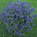 Barba Albastra Caryopteris Grand Bleu