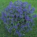 Barba Albastra Caryopteris Grand Bleu