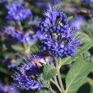 Barba Albastra Caryopteris Heavenly Blue