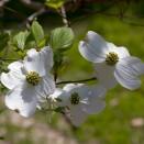 Arbust Cornus florida