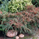 Barcoace Cotoneaster horizontalis