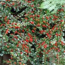 Barcoace Cotoneaster horizontalis