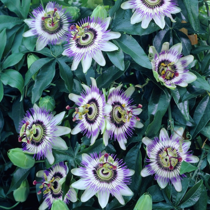 Passiflora Floarea Pasiunii