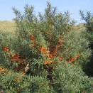 Catina Alba Hippophae rhamnoides