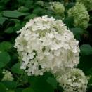 Hortensia Hydrangea Annabelle