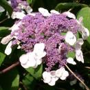 Hortensia Hydrangea Macrophylla