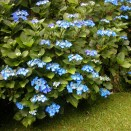 Hortensia Hydrangea Blaumeise