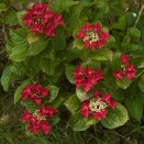 Hortensia Hydrangea Rotschwanz