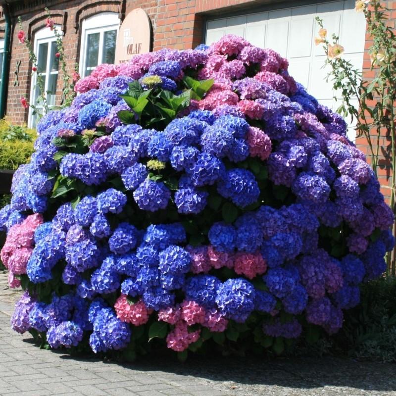 Hortensia Hydrangea Bouquet Rose