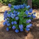 Hortensia Hydrangea Nikko Blue