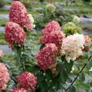 Hortensia Hydrangea Pink Diamond