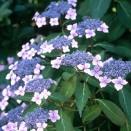 Hortensia Hydrangea Bluebird