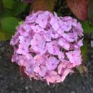 Hydrangea serrata Preciosa