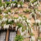 Glicina Wisteria sinensis Alba