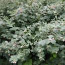 Hurmuz Symphoricarpos albus